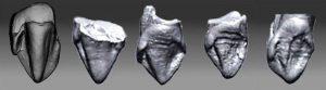 9.7 million year old Ape teeth Germany