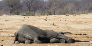 Over-100-elephants-killed