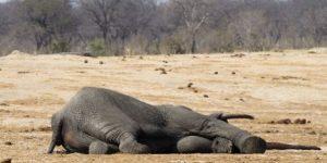 Over-100-elephants-killed